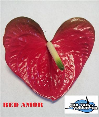 Anth A Red Amor *10