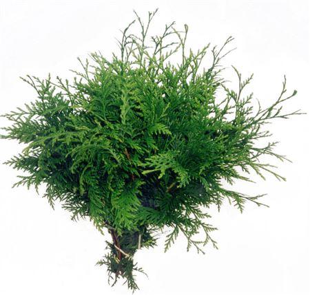 Dec Bunch Coniferen Allium Gold