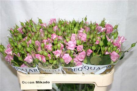 R Tr Ocean Mikado