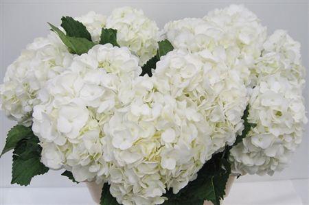 Hydrangea Imp Therese White