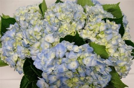 Hydrangea Imp Therese L Blue