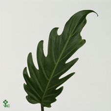 Dec Stem Philodendron Xanadu