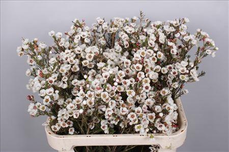Waxflower Moonlight Delight White