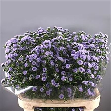 Aster Baby Blue