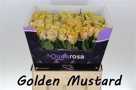 R Gr Golden Mustard