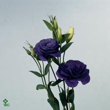 Eust G  Ov Blue 60cm