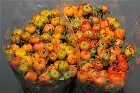 Ran Orange