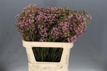 Waxflower Michal Pink