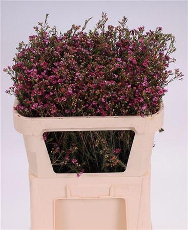 Waxflower Purple Pride