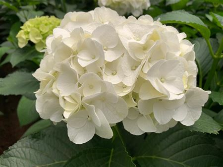 Hydrangea Imp Bianca White
