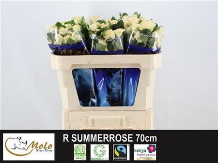R Tr Summerrose