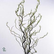 Salix Tortuosa 100 Cm