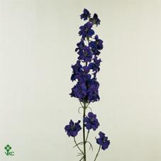 Delph Aj Dark Blue