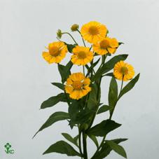 Helenium Kanaria