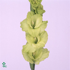 Glad   Gr Green