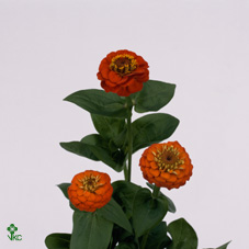 Zinnia Lill Orange