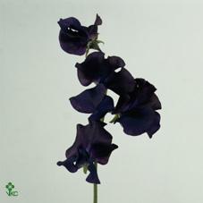 Lathyr Odor Blue