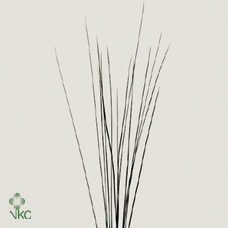 Dec Bunch Speargrass