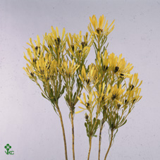 Cape Green Platyspermum