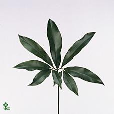 Dec Stem Philodendron Fun Bun