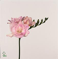 Fr Du Honeymoon Light Pink