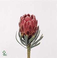 Protea Venus