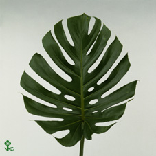 Dec Stem Monstera O20cm