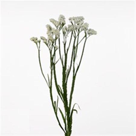Statice Import White 60cm