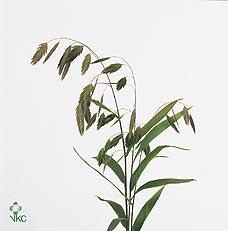 Chasmantium Latifolifolium