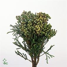 Cape Green Abrotanoide