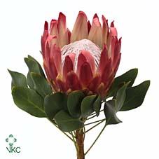 Protea Cyn Red Rex