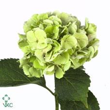 Hydran Clas Verena Green