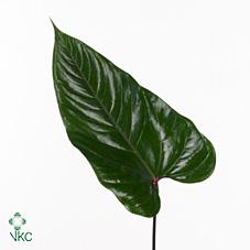 Dec Stem Anthurium Leaves Clarinervum