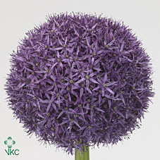 Allium Big Super