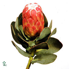 Protea Grandiceps