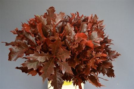 Quercus Preserved Red