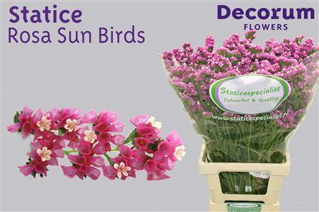 Statice Dutch Rosella Sun Birds 75cm