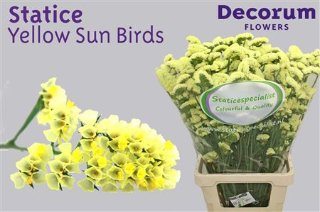 Statice Dutch Yellow Sun Birds 60cm