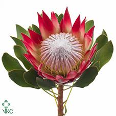 Protea Cyn Madiba