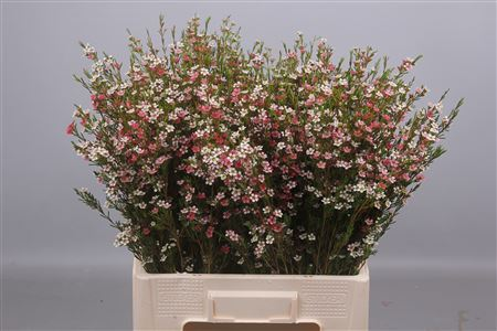 Waxflower My Sweet 16