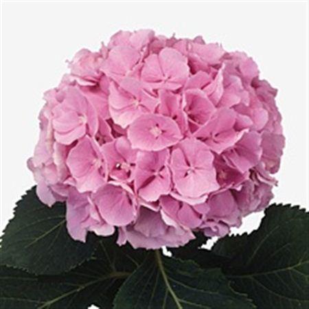 Hydrangea Imp Pink M Force Light Pink Naturel