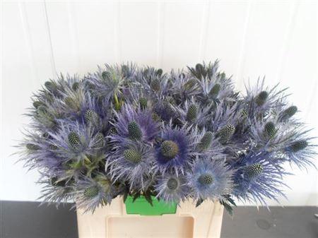 Eryng Alpinum/ Donard 1-3 Flowers