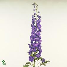 Delph  El Purple