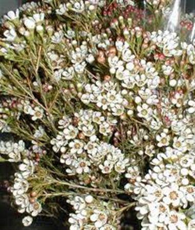 Waxflower  Ov White