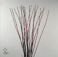 Cornus Alba Sibirica Red
