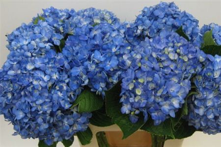 Hydrangea Imp Theresa Shocking D Blue