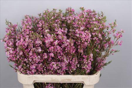 Waxflower  Ov Violet