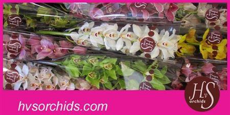 Cymb   Mix Hvs Orchids * 9