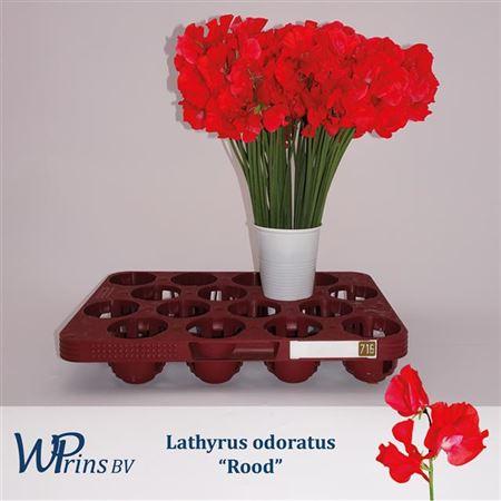 Lathyr Odor Red