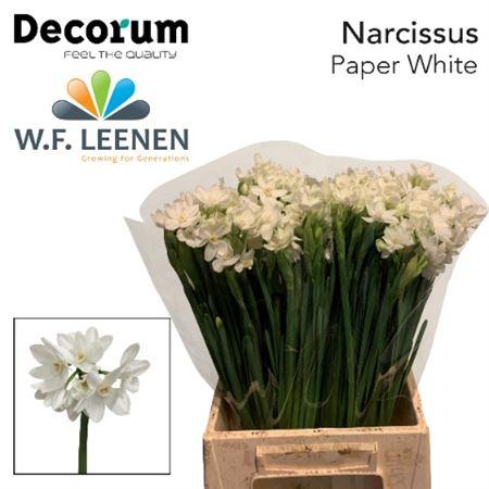 Narc Paperwhite Decorum
